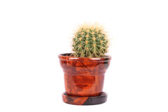 Cactus in the brown flowerpot Royalty Free Stock Photography