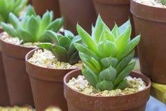 Cactus in bruine pot Royalty-vrije Stock Foto's