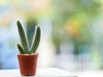 Cactus in bruine pot op vage achtergrond met exemplaarruimte Stock Fotografie