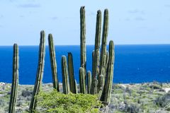 Cactus and brush, Aruba, Carribean Sea Royalty Free Stock Photos