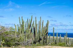 Cactus and brush, Aruba, Caribbean Sea stock images