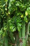 Cactus brushwood Royalty Free Stock Photos