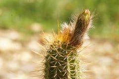 Cactus Bud Ready a abrirse fotos de archivo
