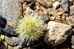 Cactus Bud. A single small cactus bud with a veil of hundreds of needle sharp points protecting its inner growth sitting among granite pebbles and sand of the royalty free stock photos