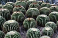 Cactus bulboso Immagini Stock Libere da Diritti