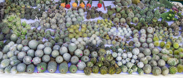 Cactus bulbs on sale Royalty Free Stock Photos