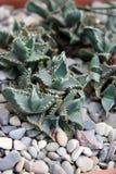 Cactus Bush Stock Foto's