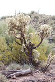 Cactus Bush Royalty Free Stock Photography