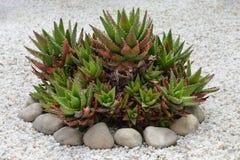 Cactus bush on the rocks royalty free stock photography