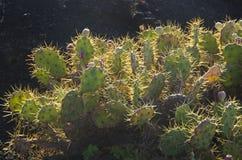 Cactus bushes in Tenerife on volcanic rocks Royalty Free Stock Photos