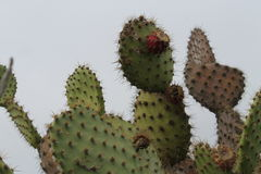 Cactus côtier de figue de Barbarie (littoralis d'opuntia) Photos libres de droits