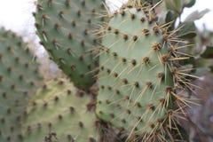 Cactus côtier de figue de Barbarie (littoralis d'opuntia) images stock