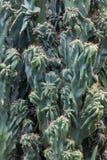 Cactus Cactaceae, Cereus Hildmannianus 'Monstrose' Stock Image