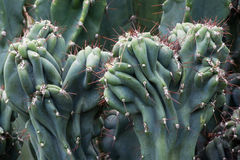 Cactus Cactaceae, Cereus Hildmannianus 'Monstrose' Royalty Free Stock Photos