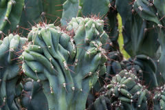 Cactus Cactaceae, Cereus Hildmannianus 'Monstrose' Stock Photos