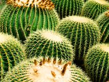 Cactus cacti Stock Photography