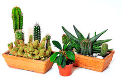 Cactus cacti plant nature Stock Photo
