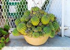 Cactus or cacti in a pot Stock Photos
