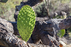 Cactus. Chumbera Nopal in the Nature Gran Canaria, Spain royalty free stock photo