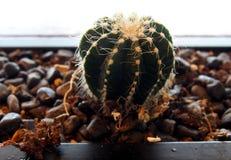 Cactus. Closeup grow on rocks Royalty Free Stock Images