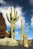 Cactus at Cactus Garden Lanzarote Stock Photos