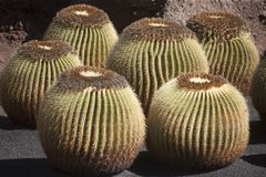Mother-in-Laws Chair, Golden Barrel Cactus, Golden Ball Royalty Free Stock Photography