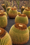 Cactus. Es in Museo de es, Lanzarote, Canary Island, Spain. Echino grusonii (Golden Barrel ,Golden ball stock photo