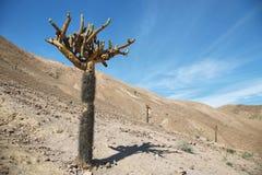 Cactus Candelabra (Browningia Candelaris) Stock Images