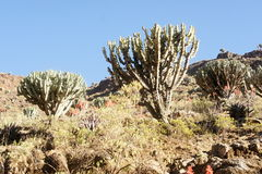 Cactus Candelabre In Simien Mountains Royalty Free Stock Image
