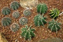 Cactus, capricorne d'Astrophytum Photos libres de droits