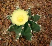 Cactus, capricorne di Astrophytum Fotografia Stock