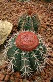 Cactus, capricorne di Astrophytum Immagini Stock
