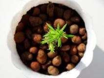 Cactus casero Cylindropuntia Imágenes de archivo libres de regalías