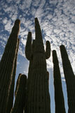 Cactus cathedral. Saguaros reaching up to blue sky with clouds stock images