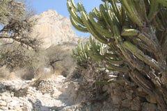 Cactus in centraal Mexico wordt gevonden dat Stock Afbeelding