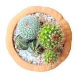 Cactus ( Cereus hexagonus Mill ) on flowerpot Stock Photo