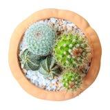 Cactus ( Cereus hexagonus Mill ) on flowerpot. ( isolated background ) ( bird eye view Stock Photo