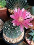 CACTUS CEREUS. Pink cactus cereus Stock Photography
