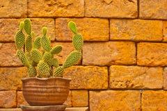 Cactus che cresce in POT Fotografie Stock Libere da Diritti