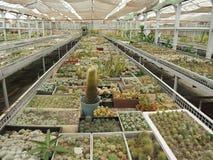Cactus che cresce in una serra Fotografia Stock