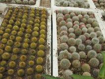 Cactus che cresce in una serra Immagini Stock