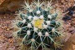 Cactus che emette luce nella sabbia Fotografie Stock Libere da Diritti