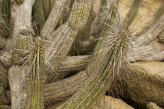 Cactus of Chilean desert Royalty Free Stock Photos