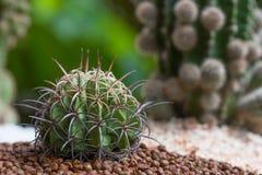 Cactus, cierre encima del tiro Imagen de archivo