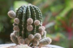 Cactus, cierre encima del tiro Fotos de archivo libres de regalías