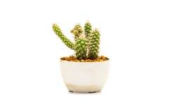 Cactus claveteado interior Foto de archivo libre de regalías