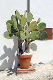 Cactus in clay pot Royalty Free Stock Photo