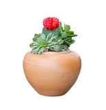 Cactus in clay pot foe decorated Stock Photography