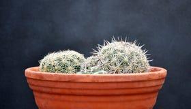 Cactus on clay pot Stock Photos