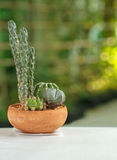 Cactus in a clay pot Stock Images